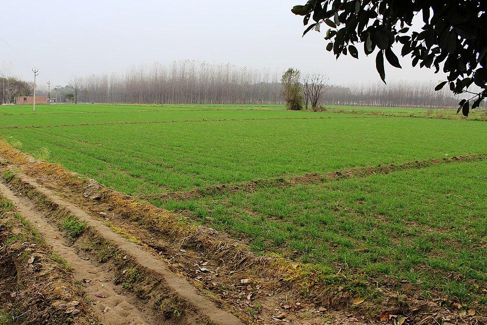 Wheat field in Punjab -1