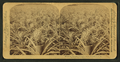 Where the luscious pineapple grows, Florida, U.S.A, from Robert N. Dennis collection of stereoscopic views 5.png