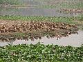 Whistling Ducks - Santragachi Lake - Howrah 2012-01-26 1492.JPG