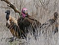 White-backed Vulture (Gyps africanus) and Lappet-faced Vultures (Torgos tracheliotos) near lioness carcass ... (32467920763).jpg