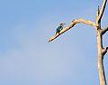 White-collared Kingfisher - Bako National Park - Sarawak - Borneo - Malaysia - panoramio.jpg
