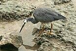 White-faced Heron Cairns.jpg