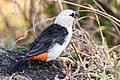 White-headed Buffalo Weaver (27557098854).jpg