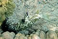 White-spotted puffer is being cleaned by Hawaiian cleaner wrasse 4.jpg