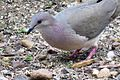 White-tipped Dove (26454050674).jpg