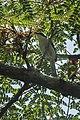 White-winged Apalis - Malawi S4E4424 (17142015420).jpg