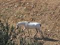 White horse-Jerusalem.jpg