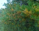 White pine shedding old foliage in autumn