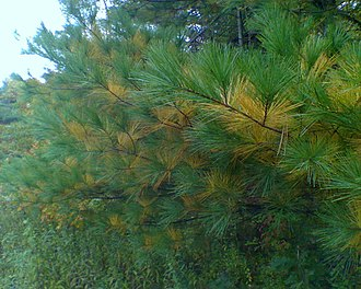 Pinus strobus - White pine boughs, showing annual yellowing and abscission of older foliage in the autumn. Upstate New York, USA.