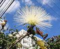White powderpuff (calliandra haematocephala alba). Sao Paulo Brasil. Latin america tree (3491059861).jpg