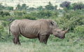 White rhinoceros or square-lipped rhinoceros, Ceratotherium simum. Note that in some of these photos there are a female with a calf, and a male that seems to have been challenging the calf. (17152070438).jpg