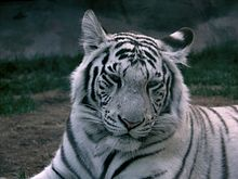 of a tiger Pictures white striped