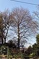 Wien-Ottakring - Naturdenkmal 796 - Blutbuche (Fagus sylvatica purpurea).jpg