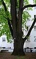 Wiener Naturdenkmal 100 - Winterlinde (Währing) f.jpg