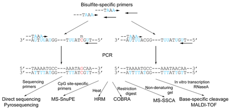 Bisulfite sequencing wikipedia non methylation specific pcr based methodsedit malvernweather Choice Image