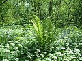Wild Garlic and Ferns in Mayall's coppice - geograph.org.uk - 103771.jpg