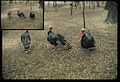 Wild Turkeys, Deer Park (Missouri State Archives) (8204301800).jpg