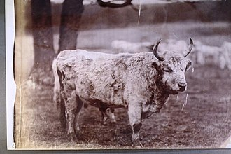Chillingham cattle - Wild cattle of Chillingham - Photograph c1890