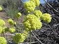 Wildflowers, Fort Rock (802991841).jpg