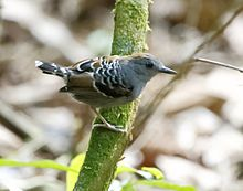 Willisornis vidua - Xingu scale-back antbird (young male).jpg