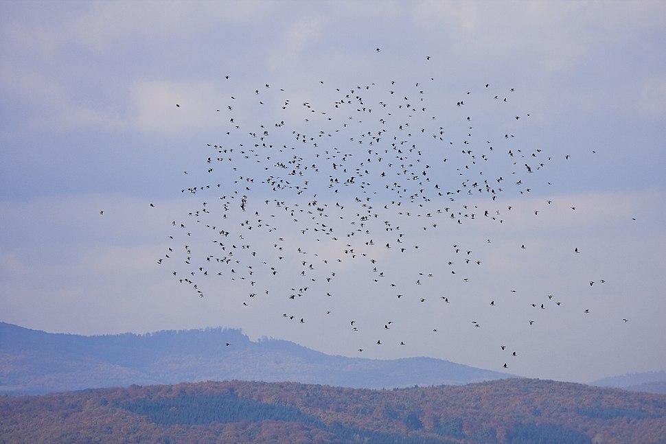 Typisk flockformation med flyttande ringduvor. Notera de vita fläckarna på vingöversidorna.
