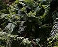 Woodwardia radicans.jpg