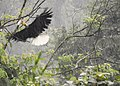 Wreathed hornbill male flying in rain AD.jpg
