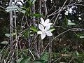 Wrightia antidysenterica-3-JNTBGRI-kerala-India.jpg
