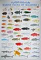 XRF-fishesofmaldives2.JPG