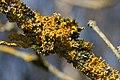 Xanthoria parietina 2 Richard Bartz.jpg