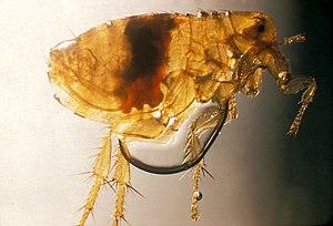 Oriental rat flea - Image: Xenopsylla cheopis flea PHIL 2069 lores