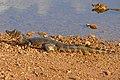 Yacare Caimans (Caiman yacare) juvenile (28744256401).jpg