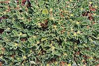 A. canariense