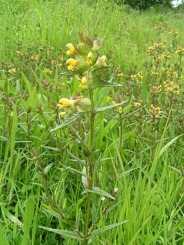 Yellow-rattle 700.jpg