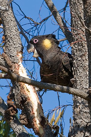 Yellow-tailed black cockatoo - Image: Yellow tailed black cockatoo 02