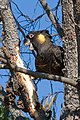 Yellow-tailed black cockatoo02.jpg