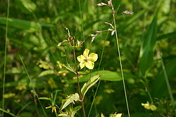 Yellow woodland flower 001.JPG