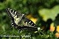 Yellowswallowtail kalatop dalhousie 2011 05 02 0534 1 (6431297171).jpg