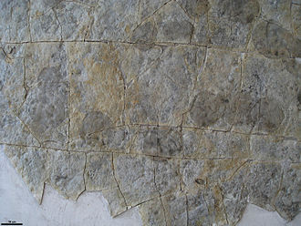 Fossil trackway - Specialized marine trace trackway, Yorgia, from the Ediacaran of northern Russia.