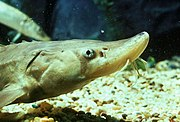 Short-nosed sturgeon.jpg