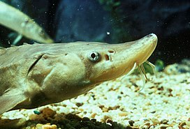 Young lake sturgeon.jpg