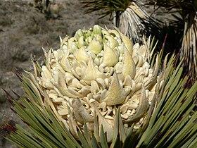 Yucca brevifolia 14.jpg