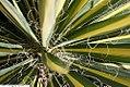 Yucca filamentosa Color Guard 5zz.jpg