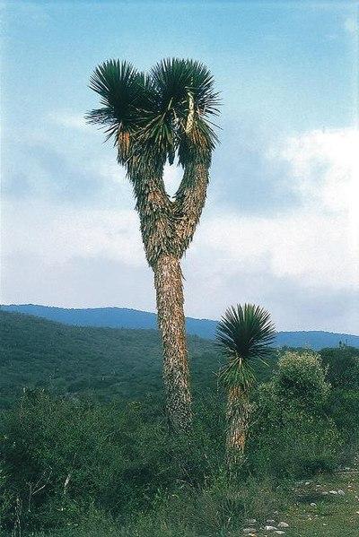 File:Yucca potosina fh 0388 MEX B.jpg
