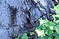 ZIMG 2668-Notholithocarpus densiflorus.jpg
