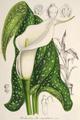 Zantedeschia albumaculata LIH.png