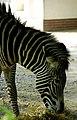 Zebra at Berlin zoo (2520908144).jpg
