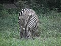 Zebra from Bannerghatta National Park 8703.JPG