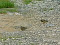 Zelentarka, mužjak i ženka (Chloris chloris); Greenfinch, male and female.jpg