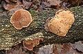 Zimtfarbene Weichporling Hapalopilus nidulans or Hapalopilus rutilans.jpg